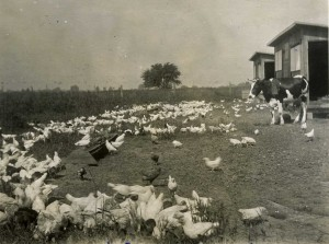 F.A.'s chickens 1922