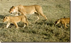 lions-moving_thumb.jpg