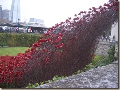 Tower poppies-4