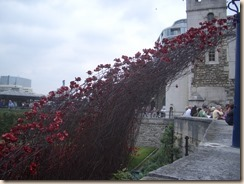 Tower poppies-5